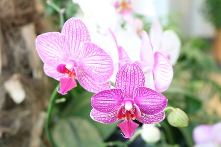 herbaceous: Phalaenopsis - epiphytic herbaceous plants Orchids with wonderful flower