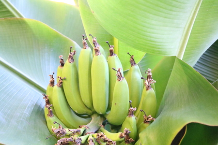 acetic: bananas widely eaten all over the world, they are used in the preparation of dishes