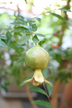 subtropical plants: Pomegranate (Punica granatum) - plant species from the genus Pomegranate lythraceae family (Lythraceae)