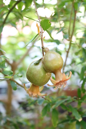 Pomegranate (Punica granatum) - plant species from the genus Pomegranate lythraceae family (Lythraceae)