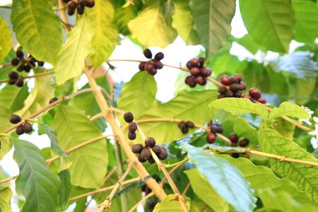 coffea: Coffee, Coffee tree (Coffea) - an evergreen plant from the fruit of the drink do