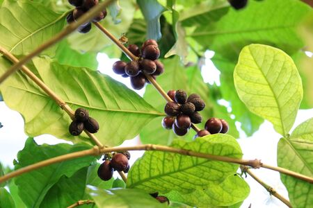 Coffee, Coffee tree (Coffea) - an evergreen plant from the fruit of the drink do