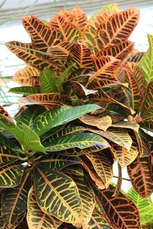 tropical evergreen forest: Codiaeum, croton, motley Codiaeum variegatum perennial evergreen shrub