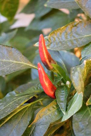 capsicum: Pepper vegetable decorative cayenne chili peppers, capsicum annuum