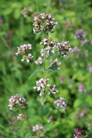 tannins: Oregano (Origanum vulgare) - perennial herbaceous plants, medicinal, ornamental and spice Stock Photo