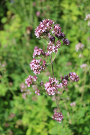 origanum: Oregano (Origanum vulgare) - perennial herbaceous plants, medicinal, ornamental and spice Stock Photo