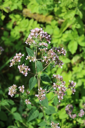 Oregano (Origanum vulgare) - perennial herbaceous plants, medicinal, ornamental and spice Stock Photo