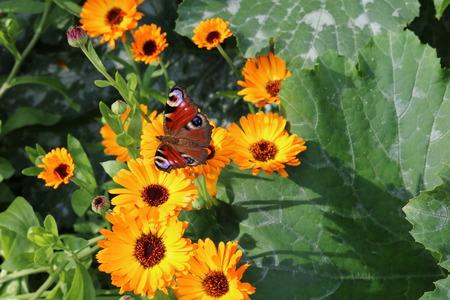 herbaceous: Calendula, or marigold - herbaceous plants Asteraceae