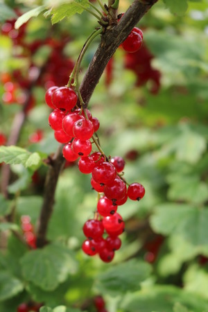 ribes: Red Currant, Currant, or common or garden currant (Ribes rubrum) - deciduous shrub with red edible berries Stock Photo
