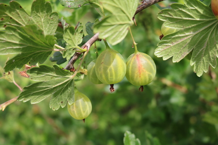 Gooseberry, reject, European (Ribes uva-crispa) with berries Stock Photo
