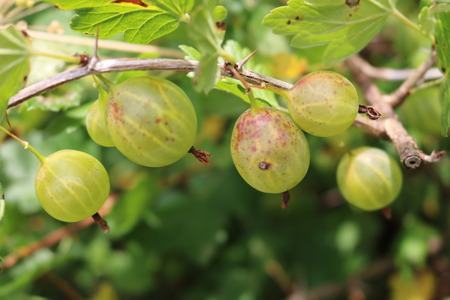 ribes: Gooseberry, reject, European (Ribes uva-crispa) with berries Stock Photo