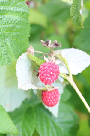 rubus: Raspberry ordinary (Rubus idaeus) - shrub with delicious berries Stock Photo