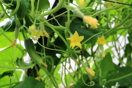 Cucumber ordinary or planting (Cucumis sativus) - an annual herbaceous plant, related to pumpkins, vegetable culture Stock Photo