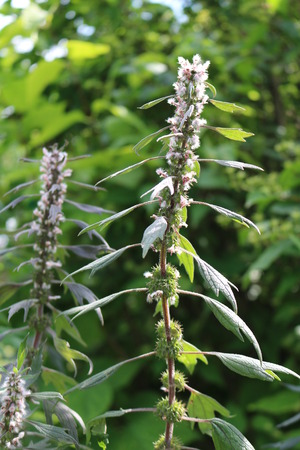 perennial: Motherwort (Leonurus) - perennial or biennial herbaceous valuable medicinal plants