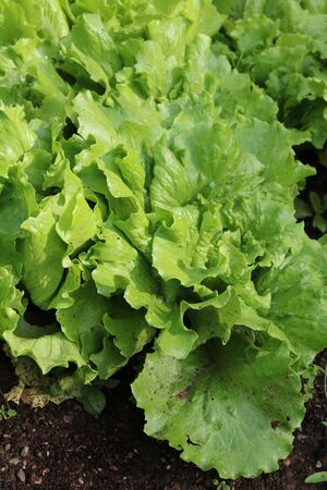 Lettuce or salad - flowering plants related Astra Stock Photo