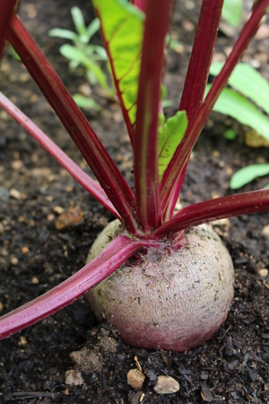 Beet Beta - herbaceous culture plants Amaranth Stock Photo