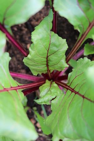 amaranth: Beet Beta - herbaceous culture plants Amaranth Stock Photo