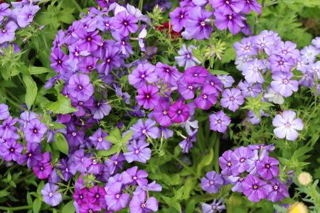 Phlox - beautiful blooming herbaceous plants polemoniaceae
