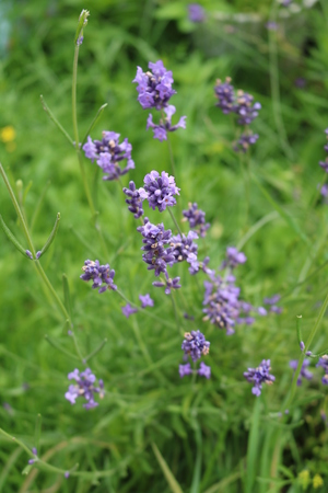 Sage (Salvia officinalis) herbaceous perennial herb Stock Photo