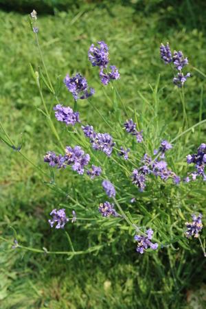 tannins: Sage (Salvia officinalis) herbaceous perennial herb Stock Photo
