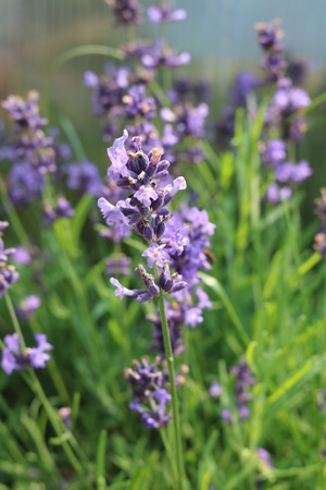 pubescent: Sage (Salvia officinalis) herbaceous perennial herb Stock Photo