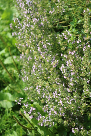 thymus: Thyme (Thymus) - low-growing shrubs, aromatic essential aromatic plants Stock Photo