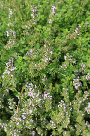 Thyme (Thymus) - low-growing shrubs, aromatic essential aromatic plants Stock Photo