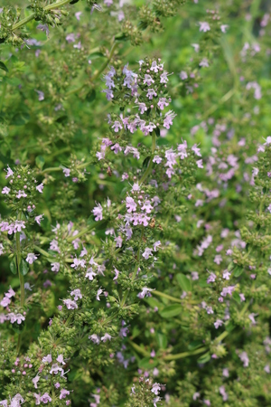 aromatic: Thyme (Thymus) - low-growing shrubs, aromatic essential aromatic plants Stock Photo