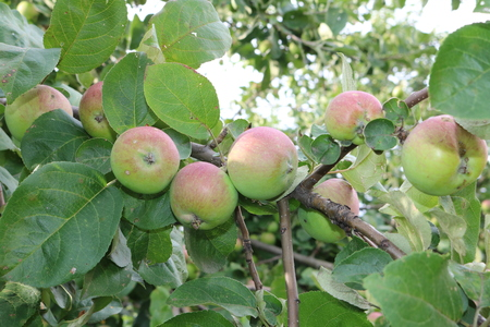 tannins: Apple (Malus) - genus of deciduous trees and shrubs with spherical sweet or sour-sweet fruits