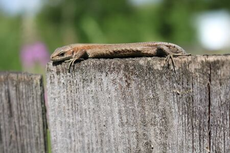 butterfly tail: The common wall lizard, lizard or wall (Podarcis muralis)