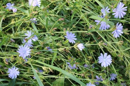 inulin: Chicory (Cichorium) - biennial or perennial grass Asteraceae