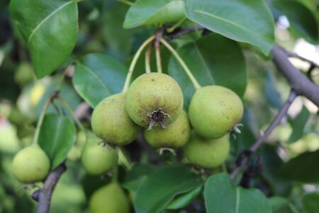 communis: Pear timber (Pyrus communis subsp. Pyraster) Stock Photo