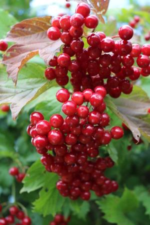 flowering plants: Viburnum - woody flowering plants with edible fruits