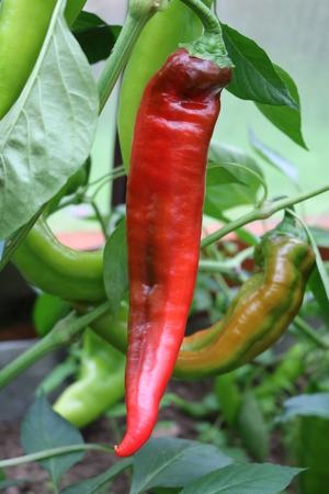 Pepper vegetable decorative cayenne chili peppers, capsicum annuum