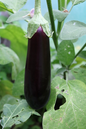 herbaceous: Eggplant, nightshade dark or fetal (Solanum melongena) - herbaceous perennial vegetable plants Stock Photo