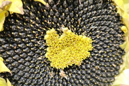 Oil seed sunflower (Helianthus)