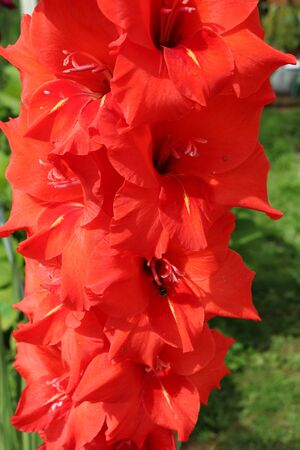 Gladiolus bulbs or plants related iris with beautiful flowers