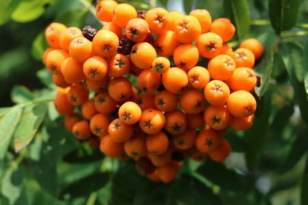Rowan (Sorbus) - woody plants akin to apple