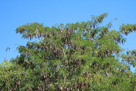 langosta: Acacia honey locust, three spikes, three stud (Gleditschia triacanthus)