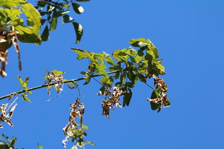 drought    resistant plant: Robinia pseudoacacia, ordinary (Robinia pseudoacacia) - a fast-growing drought-resistant forest tree wood, erroneous name locust Stock Photo