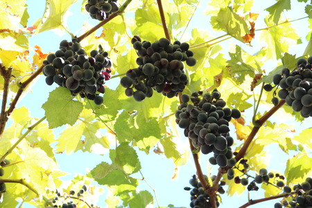 TỨ TUYỆT HOA 2 - Page 45 65347586-vitis-vinifera-vine-perennial-woody-vine