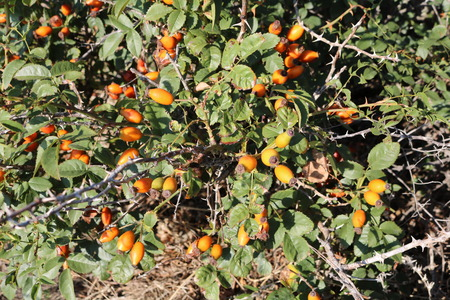 tannins: Rosehip (Rosa) has a lot of cultural forms Stock Photo