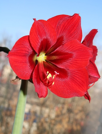 Flowering red amaryllis, houseplant with long leaves