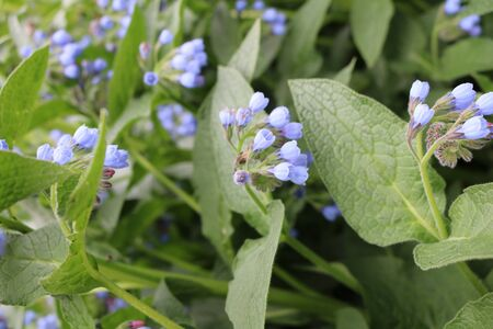 Medunica (Pulmonaria) - a perennial herbaceous plant Stock Photo