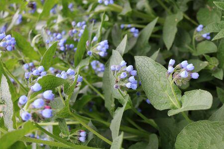 herbaceous: Medunica (Pulmonaria) - a perennial herbaceous plant Stock Photo