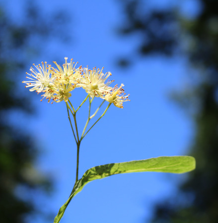 facilitating: Linden (T?lia) - woody plants when blooms exude a sweet fragrance