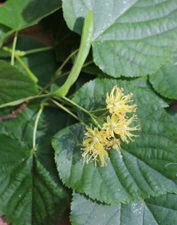Linden or Tilia blooms exude a sweet fragrance
