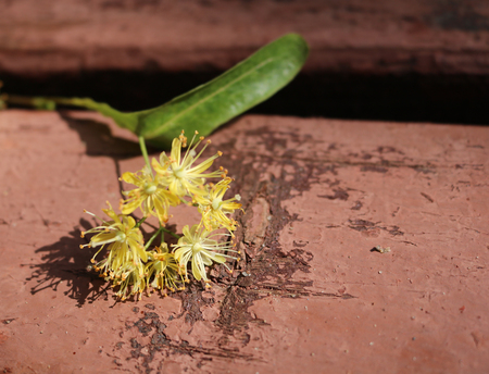 yielding: Linden (T?lia) - woody plants when blooms exude a sweet fragrance