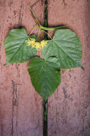 Linden (T?lia) - woody plants when blooms exude a sweet fragrance