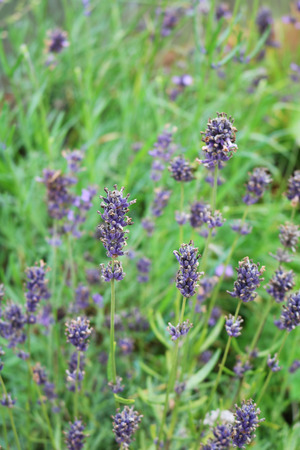 Lavender smell that relieves anxiety and dissatisfaction, irritation